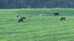 Cows eating in the field 03 Stock Footage