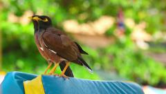 Stock Video Footage of Two Common Myna birds (Acridotheres tristis), Thailand