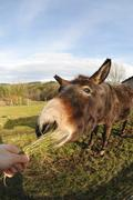Head of a Donkey which Eating Grass tuft - stock photo