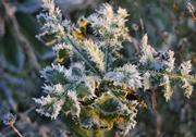 Stock Photo of Little Green Leafs covered by Frost