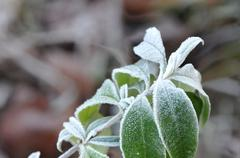 Green Leafs with White Frost Stock Photos