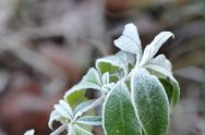 Stock Photo of Green Leafs with White Frost