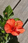 A big orange hibiscus flower on a terrace - stock photo