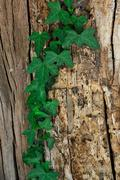Green ivy clumbing on a trunk - stock photo