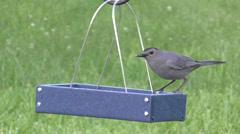 Gray Catbird (Dumetella carolinensis) Stock Footage