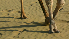 Camels striding across the desert sand - stock footage