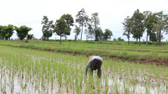 Farmer working hard in green rice field , North of Thailand Stock Footage