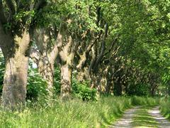 Alley of whitebeam Stock Photos