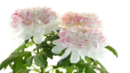 Stock Video Footage of  Beautiful Chrysanthemum flowers