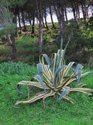 Jättiagaave, vuosisadan kasvi Kuvituskuvat