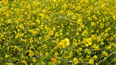 Canola Flowers 96fps 01 Slow Motion x4 Stock Footage