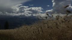 Peru, growing barley Stock Footage