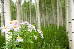 Forest of tall white aspen trees Stock Photos