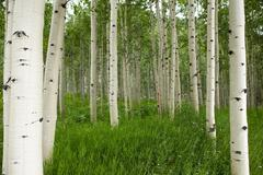 Forest of tall white aspen trees in Aspen Stock Photos