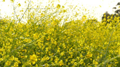 Canola Flowers 96fps 02 Slow Motion x4 Stock Footage