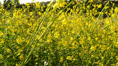 Canola Flowers 96fps 05 Slow Motion x4 Stock Footage