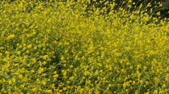 Canola Flowers 96fps 06 Slow Motion x4 Stock Footage