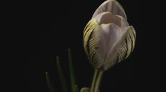 White Crocus Bloom, Blossom 4k timelapse, lumikelloja Arkistovideo