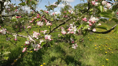 Apple Tree Blossoms and Bees Stock Footage