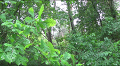 Young oak leaves, birds singing Stock Footage