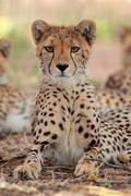 Alert Cheetah sitting upright - stock photo