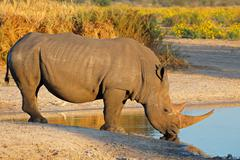 White rhinoceros drinking at a waterhole - stock photo