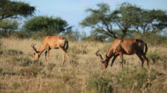 Red hartebeest grazing, African wildlife safari, South Africa Stock Footage