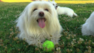 Stock Video Footage of Adorable Maltese Dog In Field  Of Flowering Clover