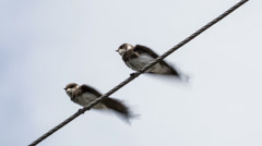 two swallows on wires clean feathers - stock footage