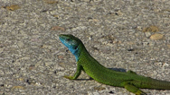 Stock Video Footage of Green Lizard 2