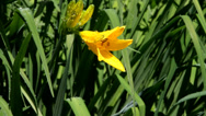 Stock Video Footage of Watering Yellow Star-of-Bethlehem (Gágea lútea).