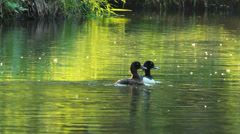Couple Tufted ducks Stock Footage