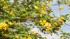 Beautiful tree with yellow flowers on blue sky background Stock Footage