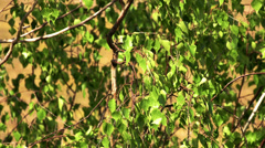 The green leaves of the birch tree Stock Footage