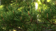Stock Video Footage of the fir cone from a pine tree