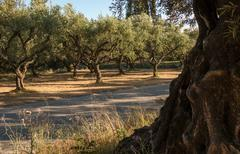 Olive trees and a road Stock Photos