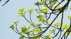 An ash-leaved maple tree Stock Footage