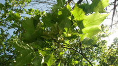 The maple tree with green leaves Stock Footage