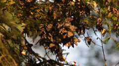 Monarch Butterfly colony in Mexico - stock footage