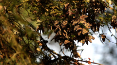 Monarch Butterfly colony in Mexico Stock Footage