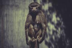 baboon (papio hamadryas ursinus) - stock photo
