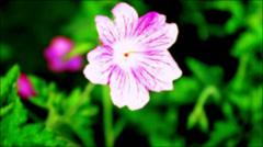 Vibrant Magenta Flower Petal Stock Footage