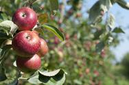 Stock Photo of Apple tree