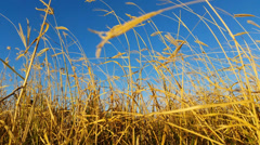 4K Grass moving in the breeze - Yellow Grass Stock Footage
