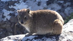 Rock Hyrax (dassie) at the top of Table Mountain Stock Footage