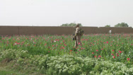 Stock Video Footage of marine walks through opium poppy field in afghanistan (HD)