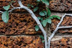 vine growing on a rock wall - stock photo