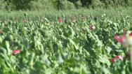 Stock Video Footage of flowering opium poppy plants blowing in the breeze