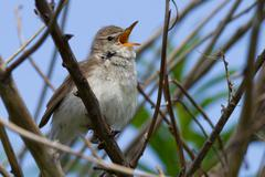 the nightingale (luscinia megarhynchos) sings in a bush - stock photo