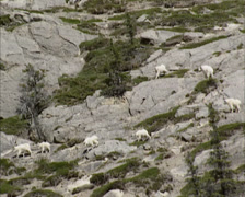 Group of Mountain goats (Oreamnos americanus) descends from a steep rocky slope - stock footage